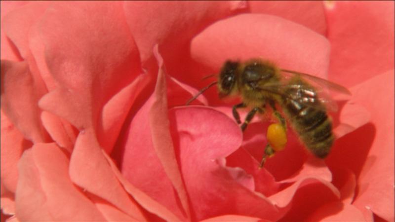 Zagadka znikających pszczół